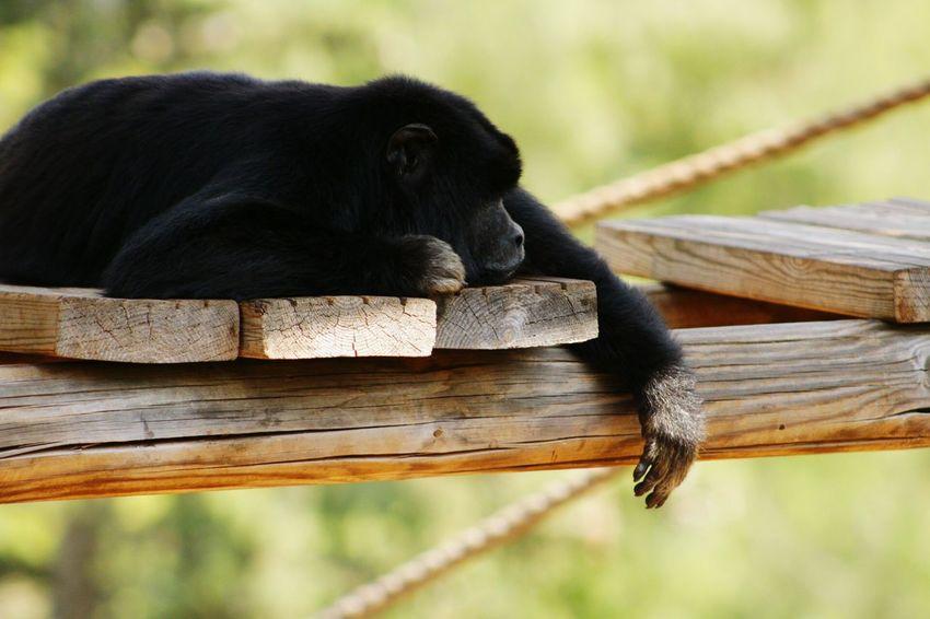 Sing me to sleep... Monkey Sleeping Monkey Zoo Zoo Animals  Black Monkey Taking Photos Hi! Relaxing Enjoying Life Check This Out on @Noa20