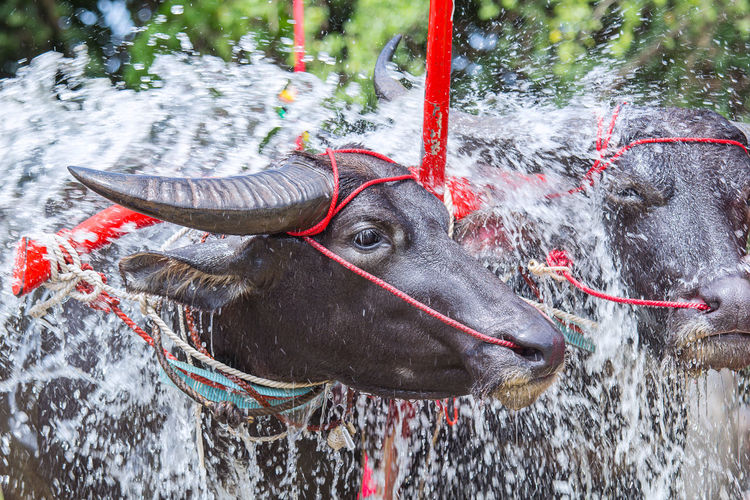 Buffalo in the farm is bathing. Agriculture Asian  Bathing Beautiful Farm Green Rural Animal Animal Head  Animal Themes Animal Wildlife Buffalo Cattle Countryside Day Nature Summer Tropical Water