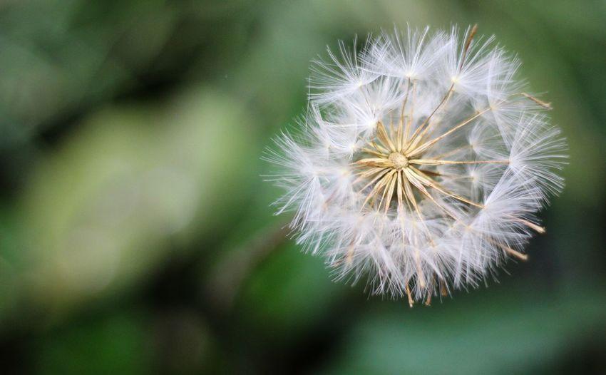 Flower Head Flower Springtime Uncultivated Wildflower Softness Soft Focus Dandelion Seed Dandelion Seed