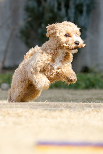 Always happy to be outside Animals Dog Dog Love Dogs Fetch Maltipoo My Dog My Dogs Are Cooler Than Your Kids Running