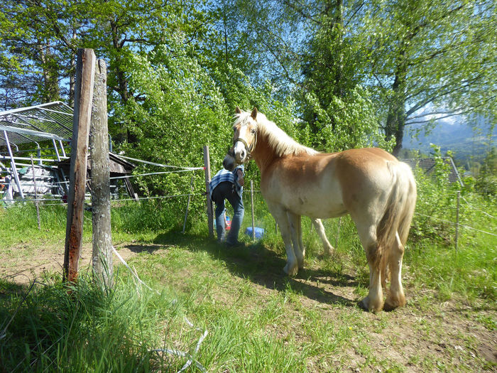 blond beauty🤗 Haflinger Horse For My Friends 😍😘🎁 Nature Is My Sanctuary 🌳💚 Mood Captures Eye4photography  Snapshots of Life I Love Horses Lovely Scenery Tree Full Length Horse Grass