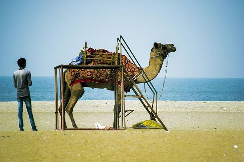 Desert & Sea . . . India Alleppey Kerela Sea Beach Camel Colourful Vscocamgram VSCO Vscocam Instapic Picoftheday Pictureoftheday Photogrid Photoadaychallenge Photooftoday Photooftheweek Photographer _iso Storiesofindia Sand Instagram Instapic Colorful Colourful animal beautiful