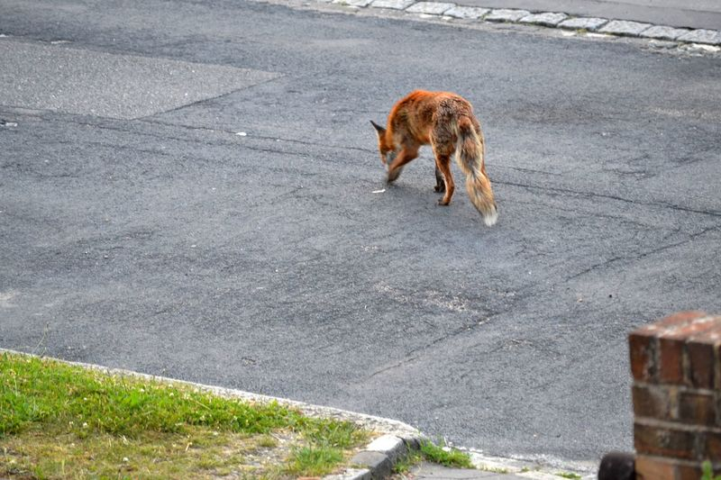 Animal Themes Animals In The Wild Day Foraging High Angle View Live And Let Live Mammal No People One Animal Open Space Outdoors Road Urban Fox Wildlife In The City
