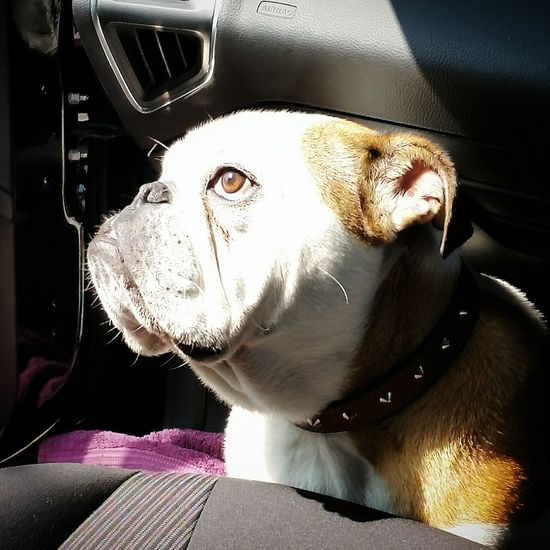 British Bulldog Dogs In Cars Going To Vets Vets Animal Travel Travelling Dogs Family Car Bulldog Its A Dogs Life Car Sick