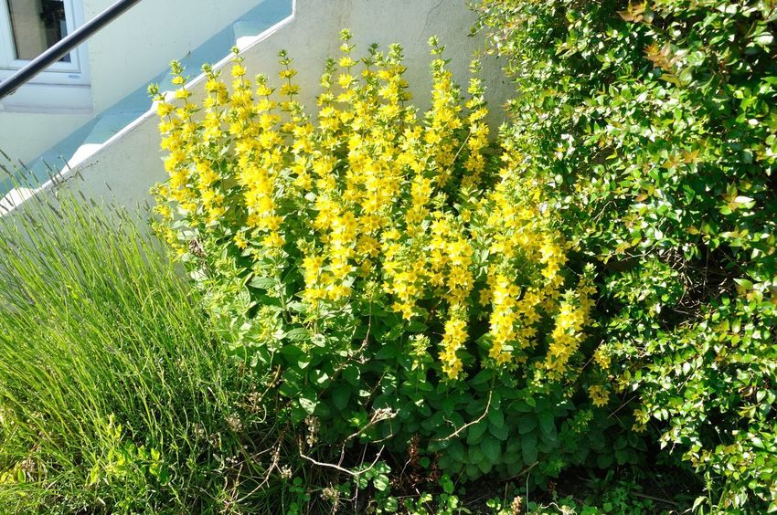 Plant Growth Flower Flowering Plant Beauty In Nature Yellow Day Nature Green Color Freshness No People Land Fragility Outdoors Sunlight Tranquility Grass Gardening Garden Flowers Garden Bush Loosestrife Lysimac; Ornamental Garden Ornamental