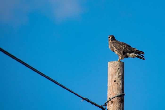 Buzzard perched on telegraph pole Animal Themes Animal Wildlife Animals In The Wild Bird Bird Of Prey Blue Buzzard  Buzzard In Flight Buzzards Clear Sky Close-up Copy Space Day Low Angle View Nature No People One Animal Outdoors Perching Sky Sparrow Wooden Post