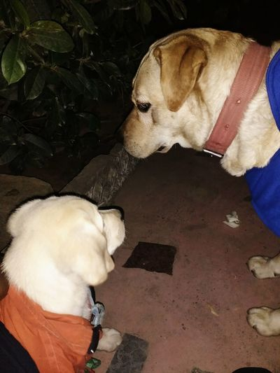 steffy with her son :- Lebradore Retriver Lebradore Mom And Son Learning Two Dogs Dog Lover Dog Lovers🐾 Dog Lover's Dog Lovers From India Pet Photography  Pet Shorts Pet Lover Obdeiant Obdeiant Puppy Training First Lesson Innocent Innocence Innocent Love  Innocent Eyes