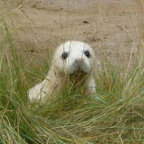 'what you looking at... ' Seals DonnaNook Donnanookseals Englishcoastline Sealpups Wildlife NatureReserve Lincolnshirewildlifetrust Lincolnshire Firsteyeemphoto EyeEm Nature Lover
