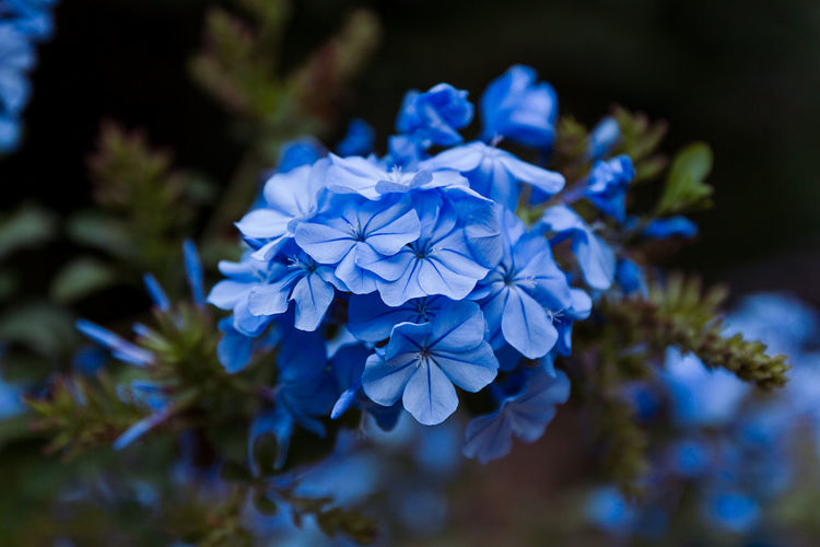 Close-up of blue phlox