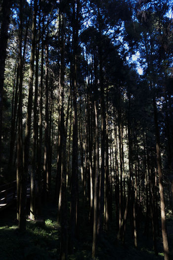 Cypress trees in Alishan mountain Cypress Cypress Trees  Forest Light Mystery Nature Outdoors Scenics Tranquil Scene Tranquility Tree Tree Trunk