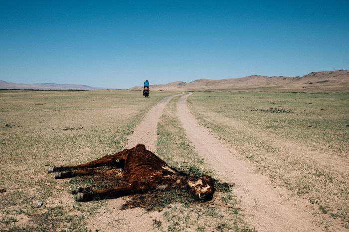 Dead animal on field against clear blue sky