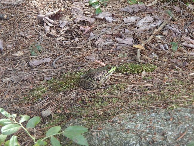 Grenouille Adirondack Mountains Frog Plant Day Growth No People Nature High Angle View Land Green Color