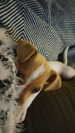 Fox Terrier  Up Close Puppy Animal Body Part Animal Themes No People Contrast Fur Furbaby Samsung Perspective Indoors  Front View Relaxing