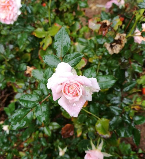 Flower Rose - Flower Petal Flower Head Nature Fragility Growth Beauty In Nature Freshness Plant Pink Color Focus On Foreground Close-up No People Outdoors Day