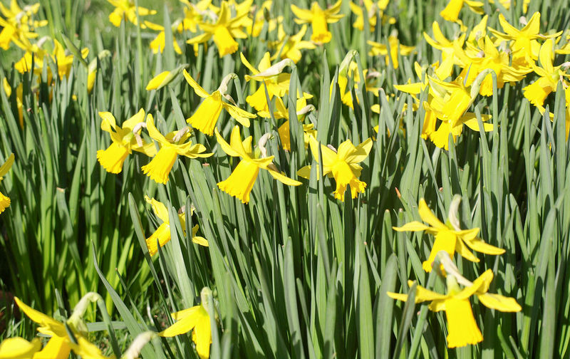 A host of golden daffodils Lake District Nature A Host Of Golden Daffodils Beauty In Nature Daffodil Daffodils Flower Flowerbed Flowers Nature Peaceful Plant Poet Poetry Spring Springtime William Wordsworth Wordsworth Yellow