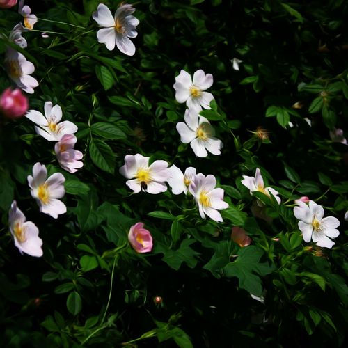Flower White Color Multi Colored Plant Petal Beauty In Nature Nature Nature On Your Doorstep Flower Head Hedge Row Beauty