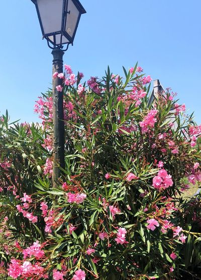 Beautiful Gassin Oleander Flowers Gassin Côte D'Azur Plant Flower Sky Flowering Plant Low Angle View Growth Nature Tree Beauty In Nature Outdoors Street Light Clear Sky Fragility Pink Color