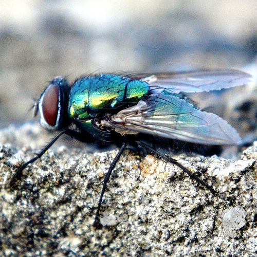 Insects Beautiful Nature Fly Macro Photography Photoart Macro Macro Photography Macro_collection Flies Fly Poster