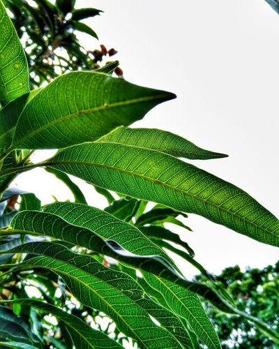 Leaves🌿 Leaf Green Color Nature Growth Freshness Plant Close-up Beauty In Nature Day No People Fern Outdoors Fragility Banana Tree Tree Tea Crop