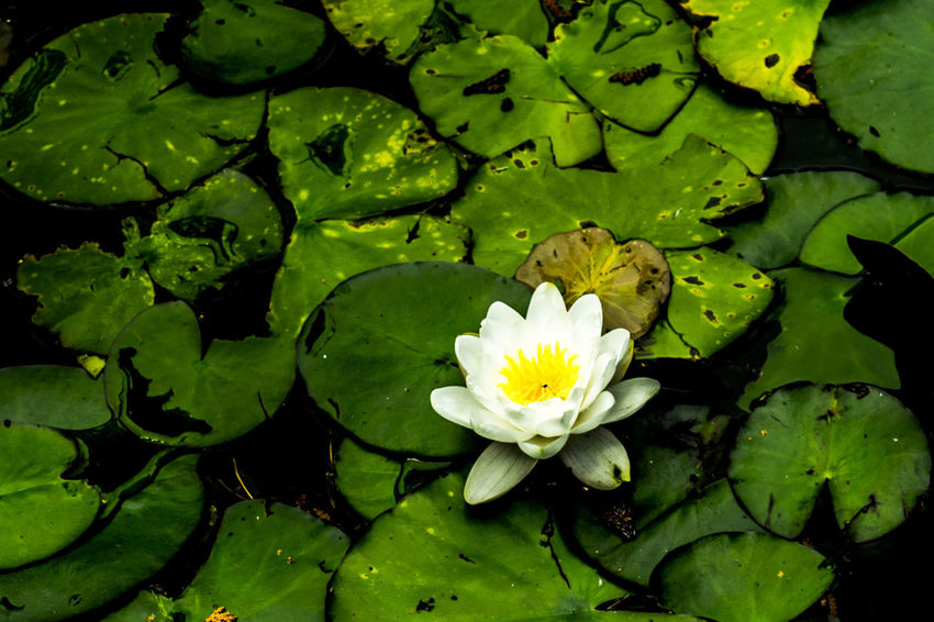 Beauty In Nature Blooming Close-up Day Floating On Water Flower Flower Head Fragility Freshness Green Color Growth Lake Leaf Lily Pad Lotus Lotus Water Lily Nature Nikon No People Outdoors Petal Plant Water Water Lily Waterfront