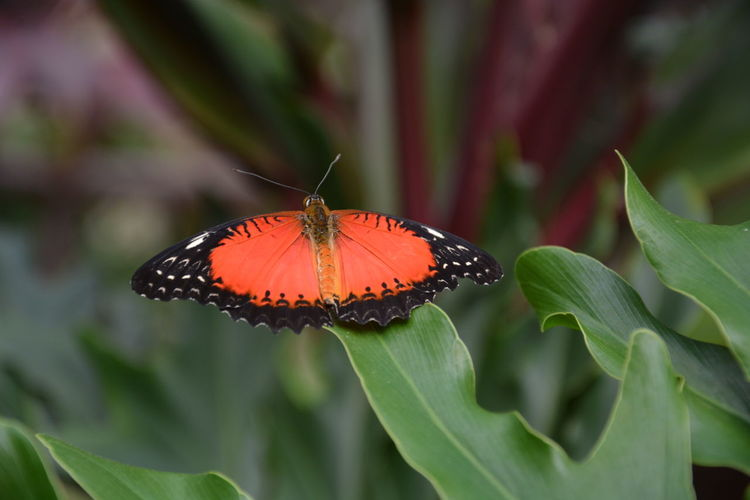 #Red lacewing #Cethosia biblis Red Lacewing Cethosia Cethosia Biblis Butterfly Insect Photography Insects Collection Beauty In Nature Black And Orange #FREIHEITBERLIN