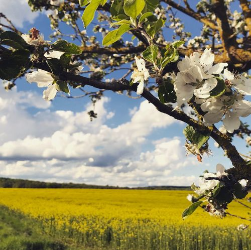 Cherry Blossom and rapeseed fields Frankonia Flower Blossom Nature Growth Beauty In Nature Agriculture Springtime Tree Field Freshness Oilseed Rape Branch Sky