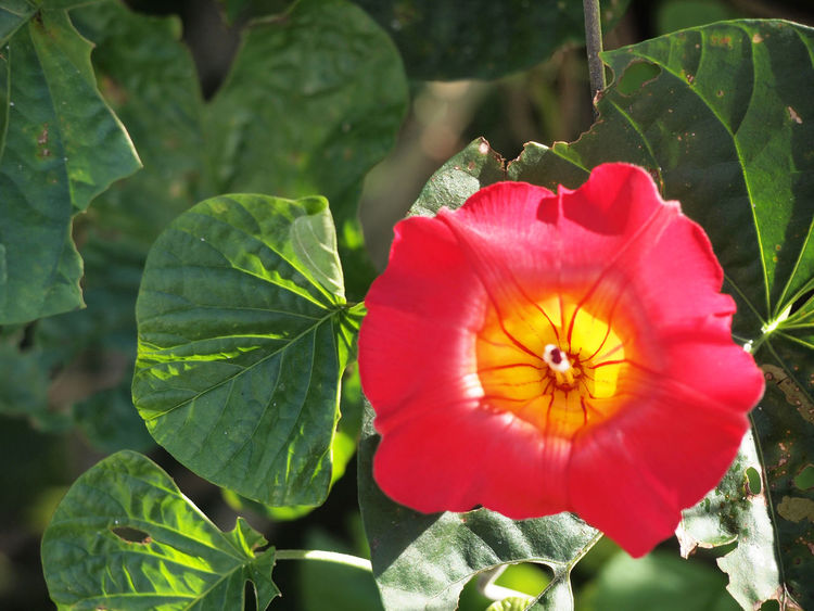 Beautiful Beautiful Nature Relaxing Beauty In Nature Beauty In Nature Blooming Flower Flower Collection Flower Head Flowers Freshness Garden Green Color Hibiscus Leaf Nature Petal Plant Red Red Yellow Flowers Spa