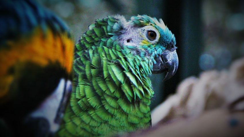 Animal Themes Animal Wildlife Animals In The Wild Beauty In Nature Bird Close-up Day Focus On Foreground Gold And Blue Macaw Macaw Nature No People One Animal Outdoors Parrot