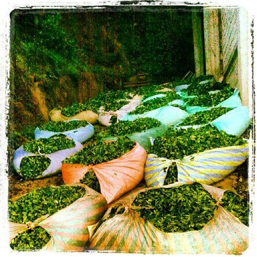 Bastimar S ürmene Trabzon Tea cay