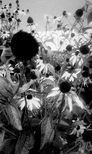 Growth Nature Plant Flower Agriculture Day Outdoors Beauty In Nature Fragility Freshness Close-up Black Eyed Susans Beauty Life Leaves And Flowers Garden Black And White Textures EyeEmNewHere Lost In The Landscape