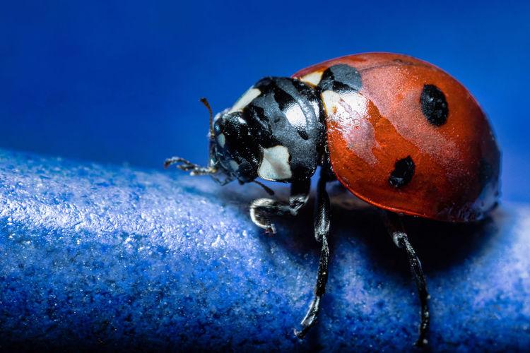 Close-up of ladybug on blue