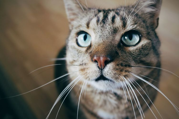 Domestic Cat Pets Domestic Animals Looking At Camera One Animal Animal Themes Whisker Close-up No People Feline Portrait Indoors  Tabby Cat Mammal Day