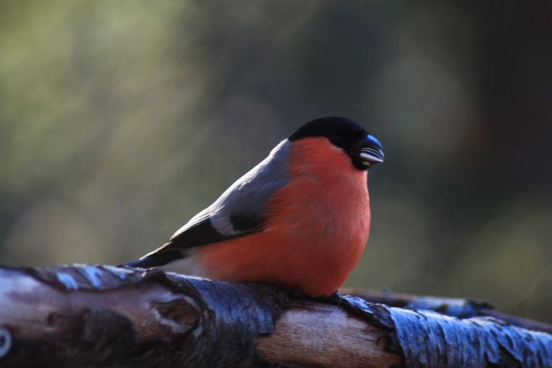 Bullfinch Animals In The Wild Animal Themes Bird One Animal Animal Wildlife Perching Day No People Close-up Outdoors Nature