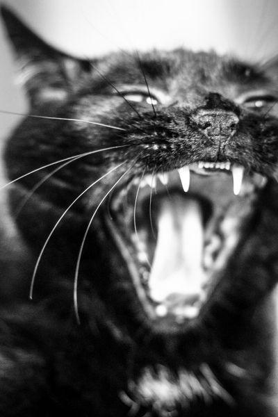 Close-up Indoors  Cat Tired Gähnende Killerkatze Gähnen Müde? Katze Haustier BLackCat
