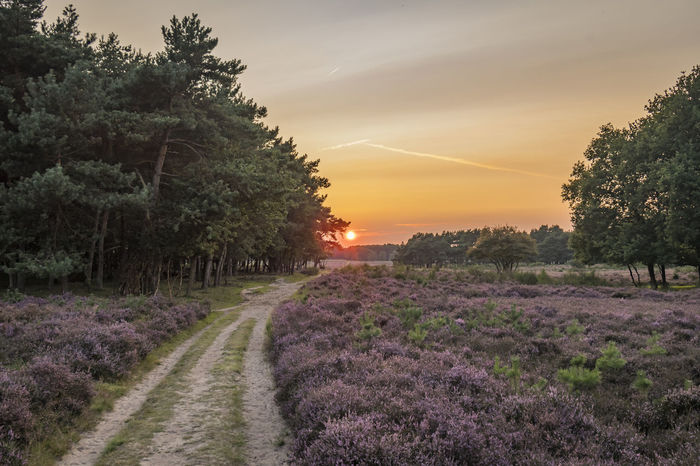 The Heath is on ... Heath Beauty In Nature Day Flower Forrest Growth Heather Landscape Nature No People Outdoors Plant Rural Scene Scenics Sky Sunset Tranquil Scene Tranquility Tree