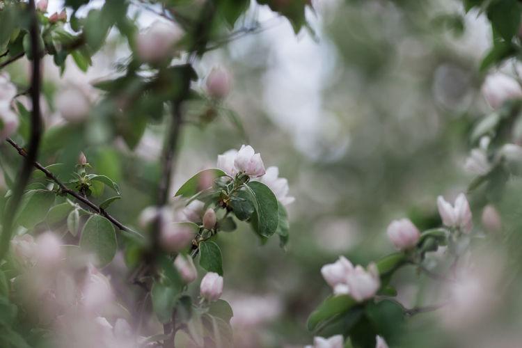 Bio Farm Quince Blossom Alentejo Blossom Blossoms  Fruit Fruits Quince Quince Flower Quince Tree Spring Tree Flowers
