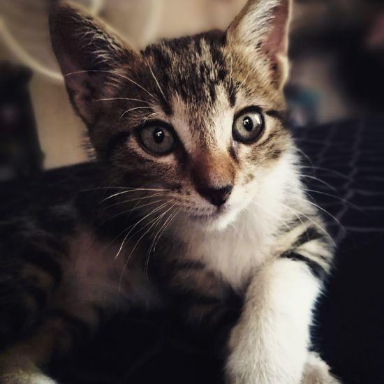 My little Sherlock EyeEm Selects Kitten Pets Portrait Feline Domestic Cat Looking At Camera Sitting Ear Whisker Animal Hair