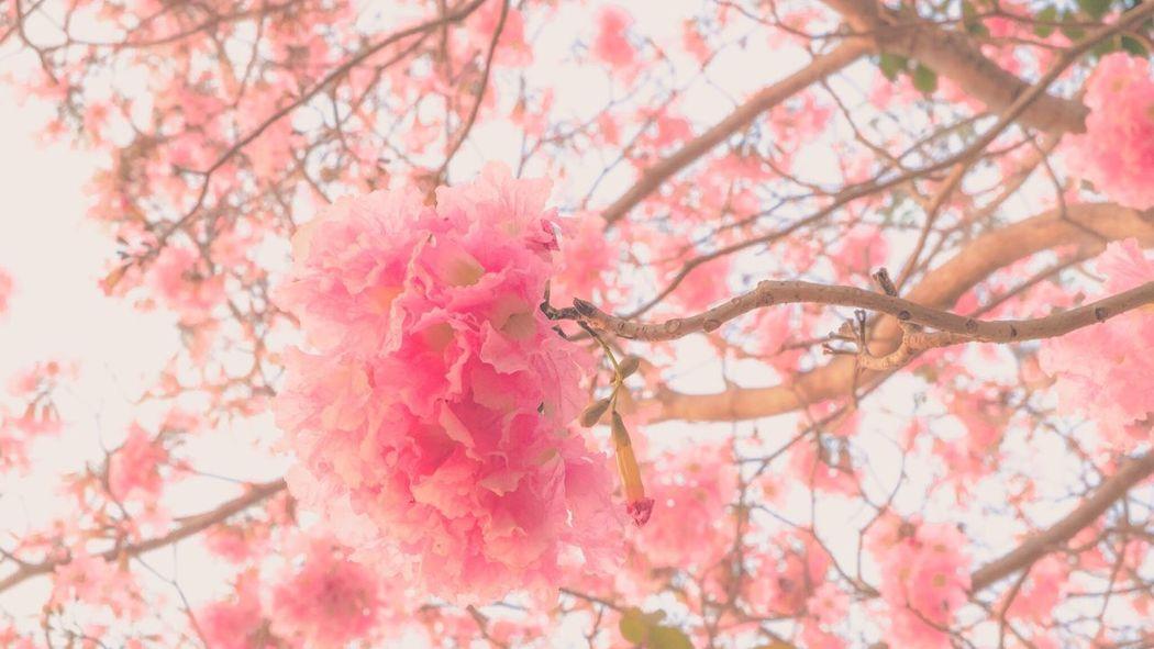 ??? P i N K ??? Thailand Flowers Fujifilm Pink Nature Thailand_allshots Taking Photos Taking Pictures