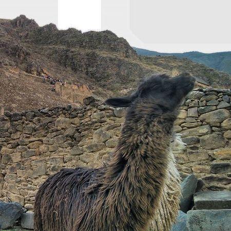 Soy totalmente palacio : llama Peru Vallesagrado Saulenlatin Sudamerica