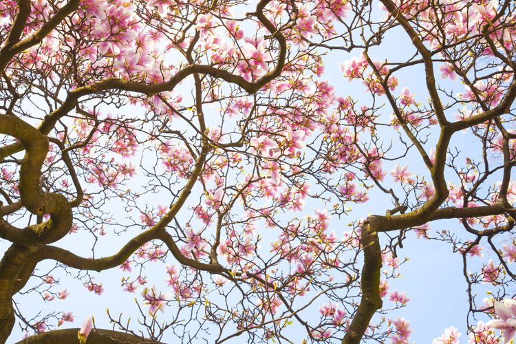 Magnolia Tree Beauty In Nature Blossom Fragility Magnolia Blossoms Magnolia Flower Magnolia Tree No People Pink Color Scenics Tree