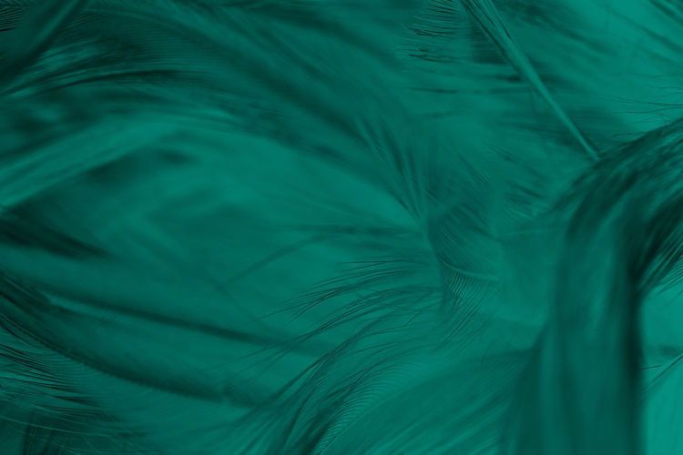 Feather  Green Color Full Frame Backgrounds No People Close-up Pattern Softness Peacock Feather Bird Nature Animal Vulnerability  Beauty In Nature Animal Themes Natural Pattern Selective Focus Peacock Fragility Vertebrate Lightweight Turquoise Colored Abstract