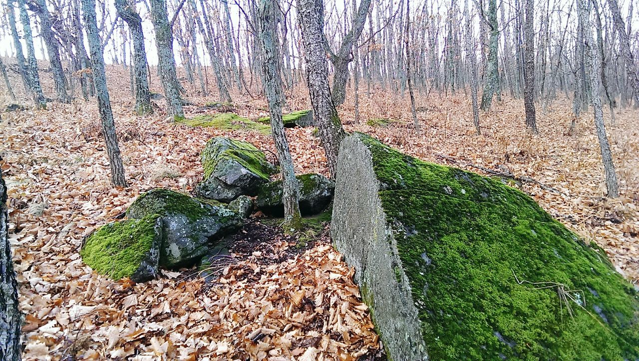 nature, tree trunk, tree, forest, day, no people, outdoors, beauty in nature, growth, grass