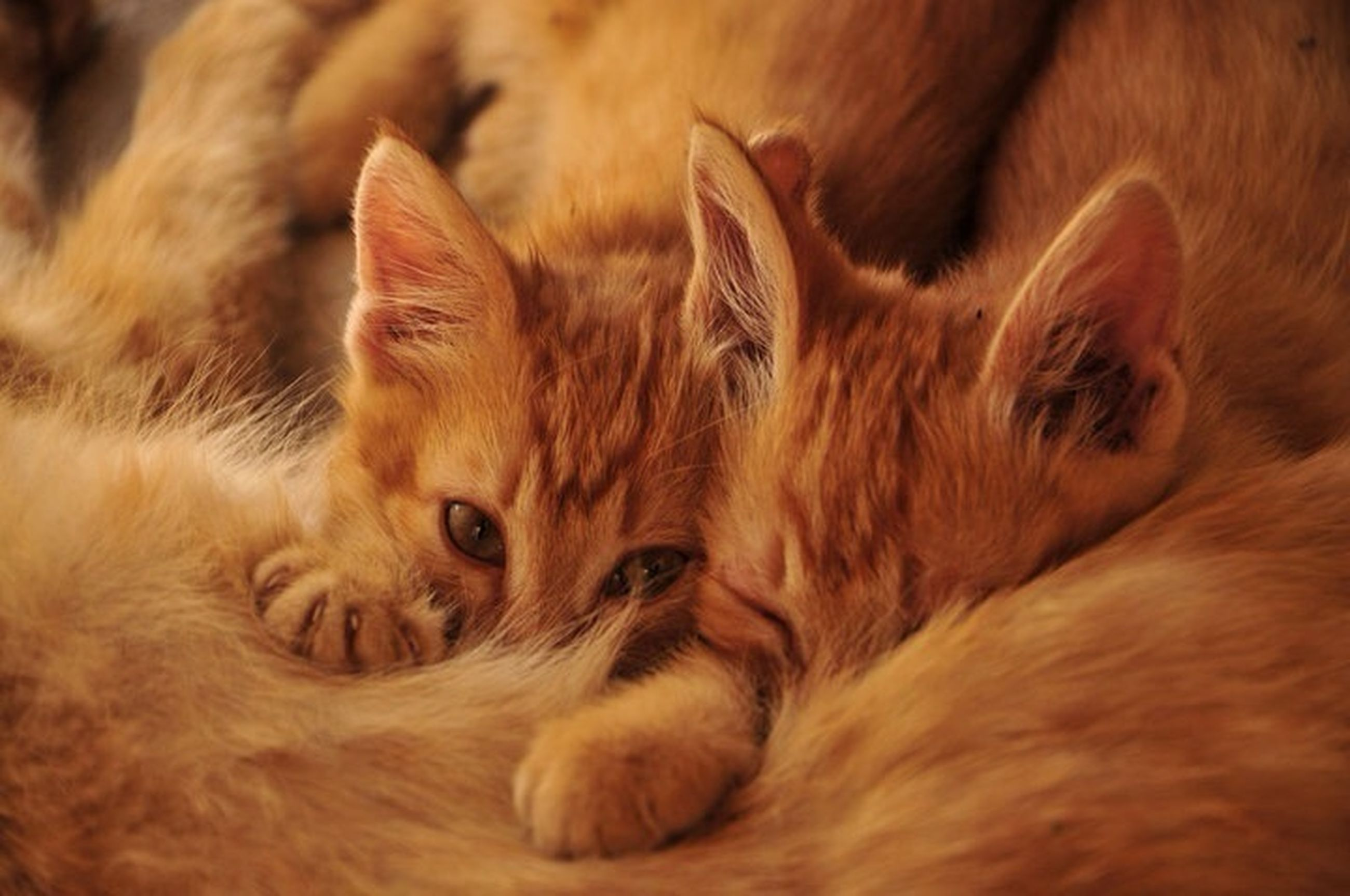 animal themes, mammal, domestic cat, domestic animals, pets, one animal, cat, feline, relaxation, indoors, resting, whisker, lying down, portrait, sleeping, two animals, close-up, looking at camera, relaxing, young animal