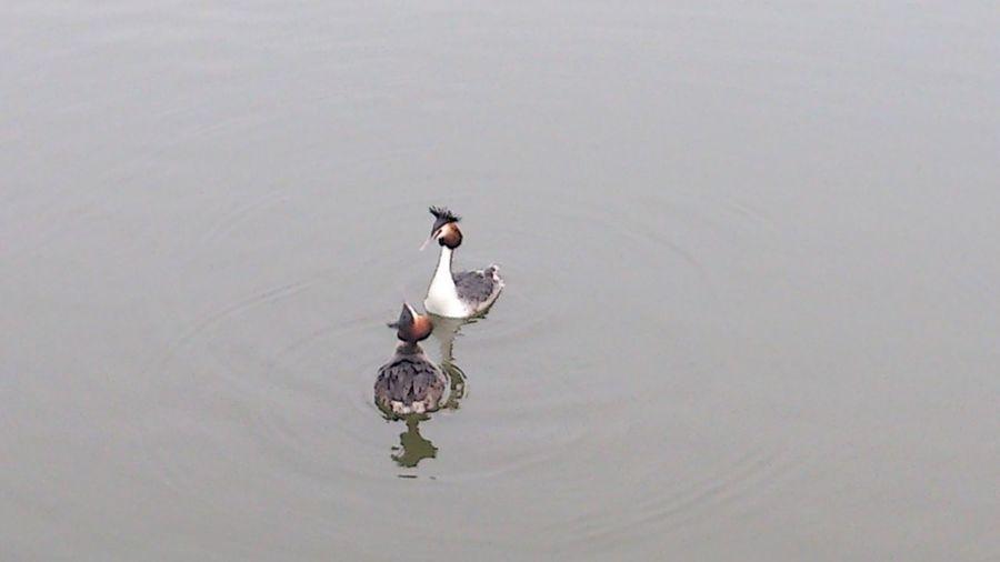 Haubentaucher beim umwerben :-) in steinhude Steinhude-am-meer.de - Dein Meer-Foto