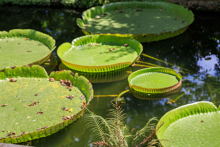 Victoria Amazonica Aquatic Plants Parque Terra Nostra Azores, S. Miguel Green Color Leaf Plant Part Water Pond Plant Floating Nature Water Lily Floating On Water Beauty In Nature Growth No People Day Close-up Leaves Lily Flower Lotus Water Lily Outdoors