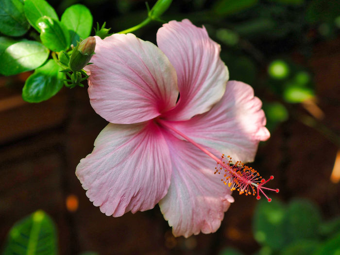 Jeans Brown Photography - Jeans Brown Photography Nature Nature Photography Beauty In Nature Close Up Close-up Closeup Day Flower Flower Head Flowering Plant Focus On Foreground Fragility Freshness Growth Hibiscus Inflorescence Nature Nature_collection No People Outdoors Petal Pink Color Plant Pollen Vulnerability