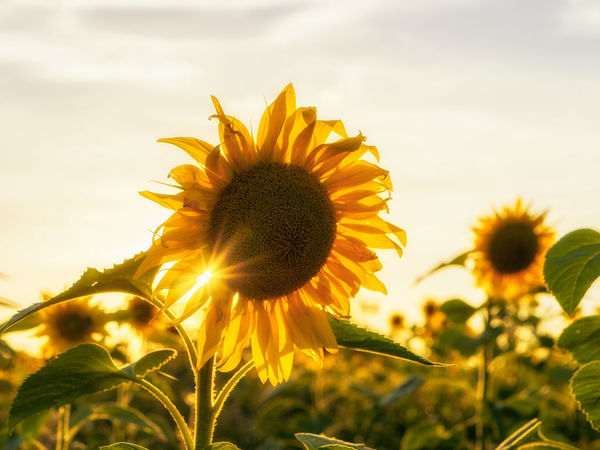 Sunflower. Beauty Beauty In Nature Bokeh Close-up Dof EyeEm Nature Lover Flower Flower Head Fragility Freshness Growth Nature No People Outdoors Petal Plant Rural Scene Sun Sunbeam Sunflower Yellow