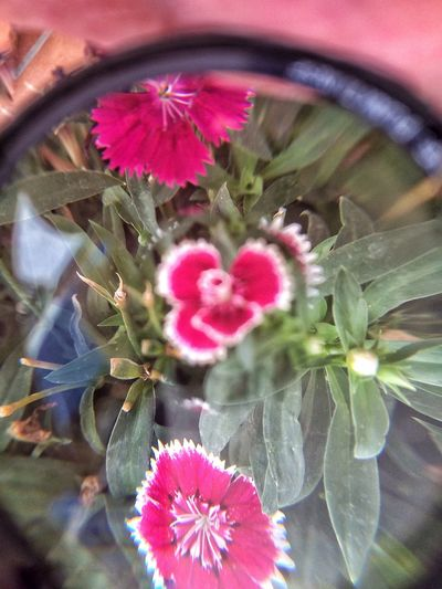 IPhone Canon Lens Flowers Pink Through Lens