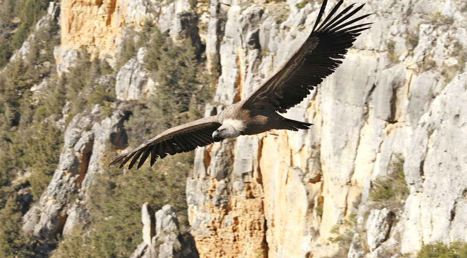Flying Animals In The Wild Animal Wildlife Spread Wings Bird Bird Of Prey Mid-air Rock Vertebrate Motion Animal Body Part Outdoors Animal Wing Wings Of Freedom Wings Open Vulture Vultures Vulture On Rocks Freedom Birds Majestic Majestic Bird Majestic Birds Carrion Birds Flying Free Geier