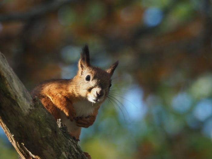 Animal Animal Head  Animal Themes Animal Wildlife Animals In The Wild Branch Close-up Day Focus On Foreground Mammal Nature No People One Animal Outdoors Plant Rodent Selective Focus Squirrel Tree Tree Trunk Vertebrate Whisker